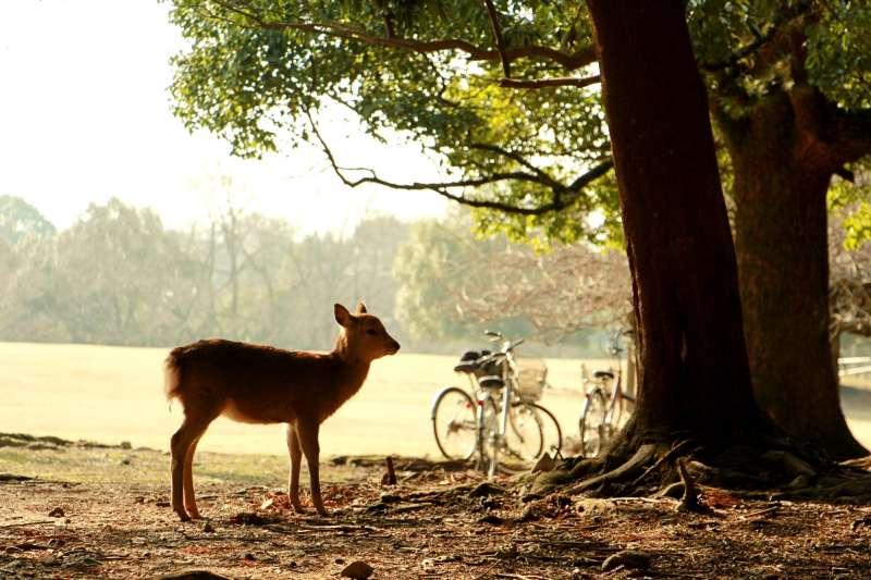 奈良公園中的小鹿。(圖/陳怡秀攝|想想論壇提供)