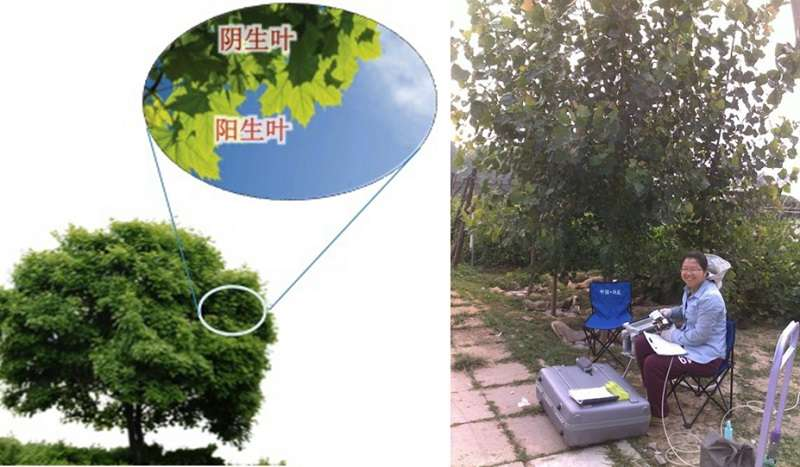 氣溶膠的散射光施肥效應示意圖(左),王欣在野外觀測(右)。(新浪網)