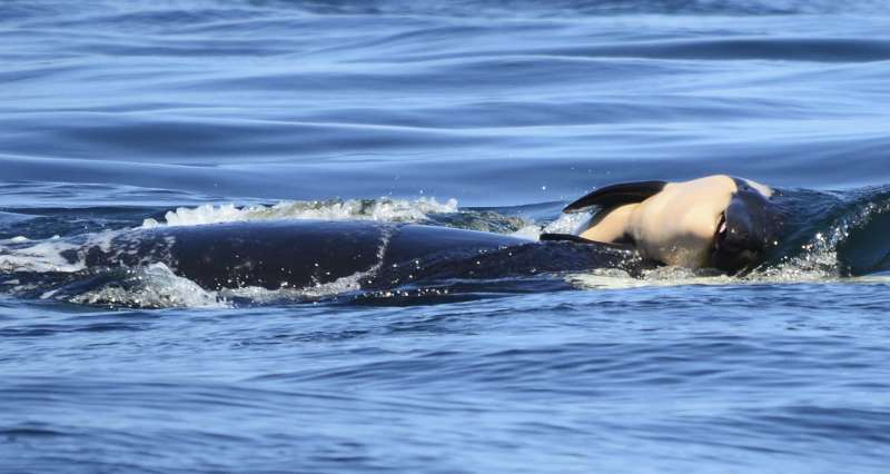 美國華盛頓州薩利希海(Salish Sea)的聖胡安島附近,一隻母虎鯨生下了寶寶,但是幼鯨半小時後即死亡。之後,母鯨一直用前額頂著夭折的寶寶,讓它不沉入水面。(AP)