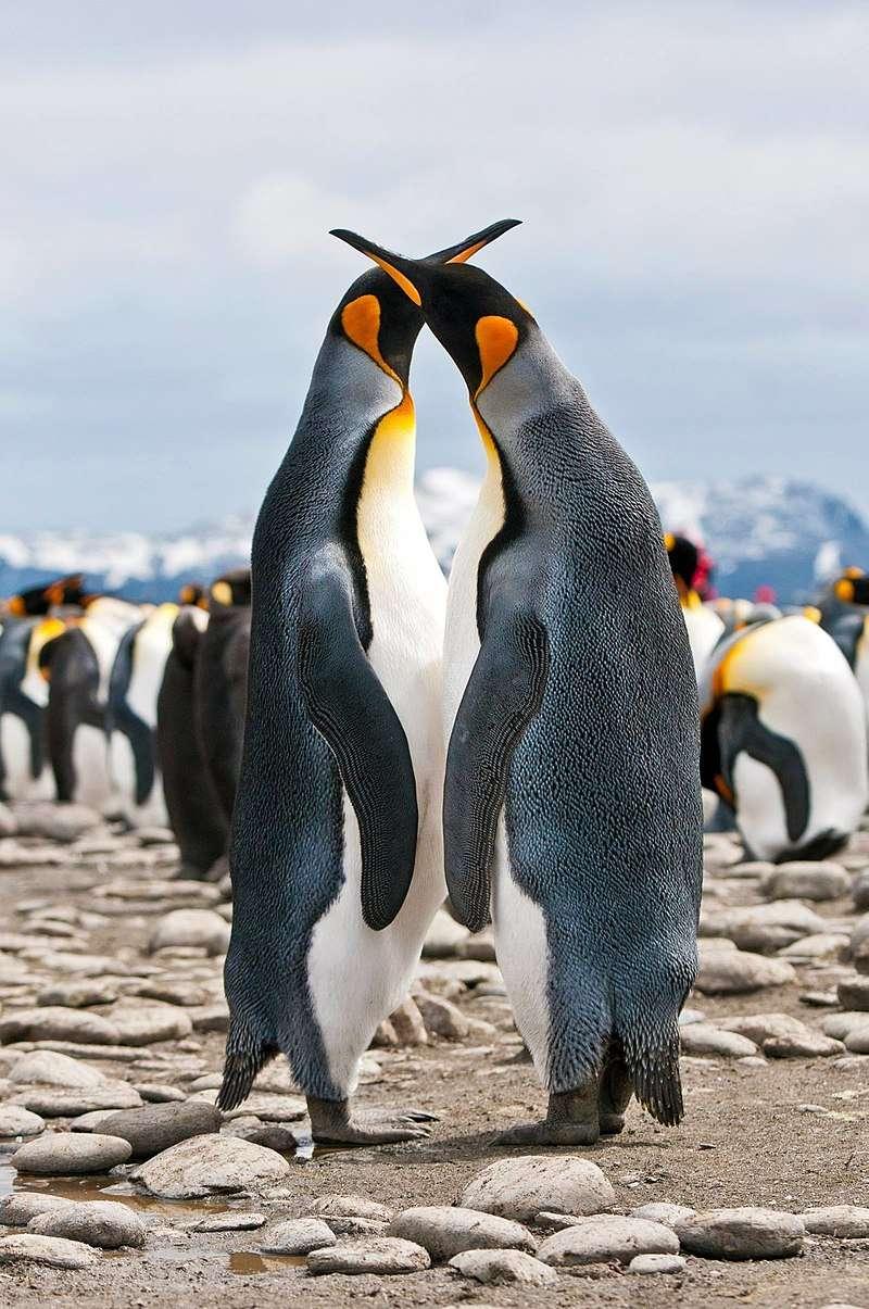 一對國王企鵝正在求偶。(MMessina1245 @ Wikipedia /CC BY-SA 4.0)