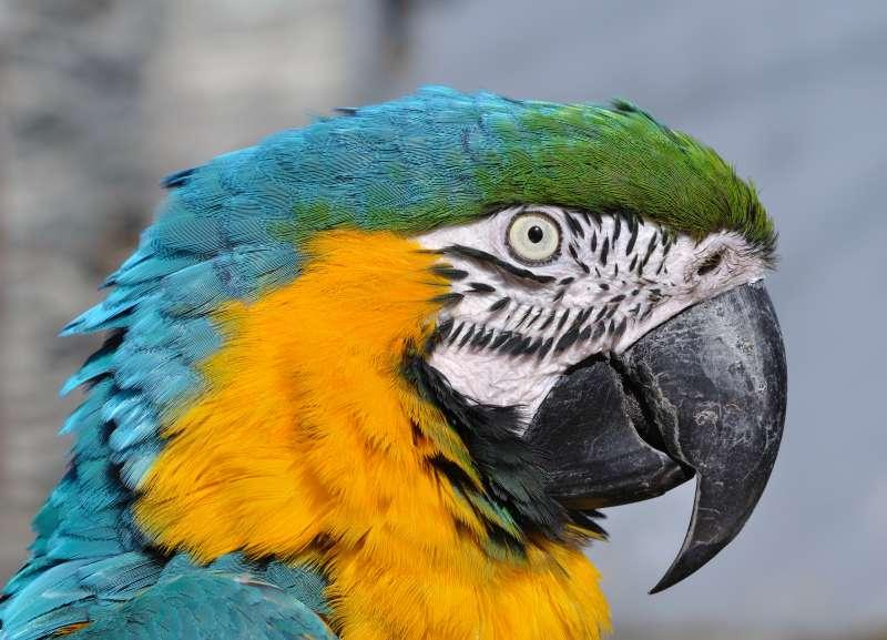 藍黃金剛鸚鵡的臉頰沒有羽毛覆蓋,最新研究發現,在與人類互動時,藍黃金剛鸚鵡居然會臉紅。(Bernard Spragg. NZ@Flickr/Public Domain)