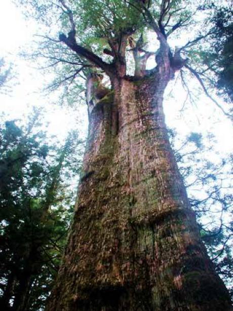 chiinananana:圖一:紅檜(阿里山香林神木)。(作者提供,取自《中文百科在線》)
