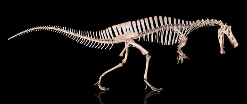 利瑪氏崇高龍的骨架模型。(巴西國家博物館提供)