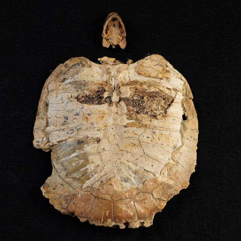 1萬1千萬年前的烏龜化石,是巴西目前最古老的化石。(巴西國家博物館提供)