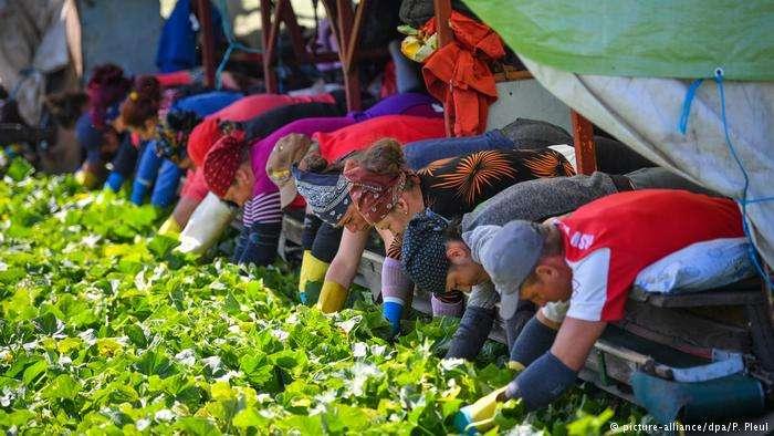 在布蘭登堡州,來自羅馬尼亞的工人在菜園裡採摘成熟的黃瓜。(德國之聲)