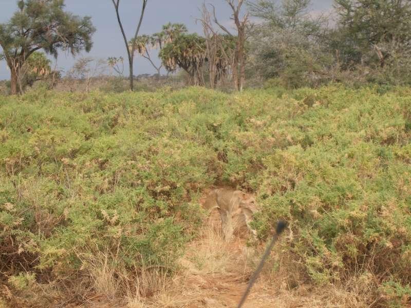 沿著Thika 高速公路一路往北,距離奈洛比350公里外的Samburu國家保護區(Samburu National Reserve),是Safari第一站。(圖/謝幸吟提供)