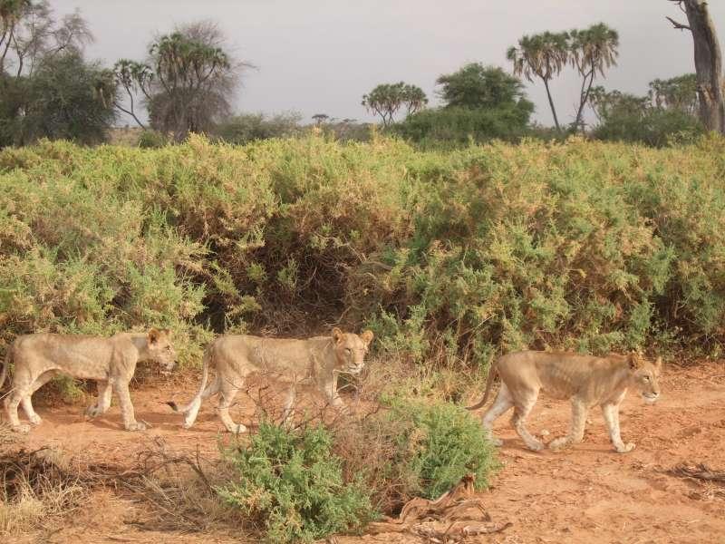 突然間,三隻母獅帶著幼獅群,穿過眼前,讓人驚喜。(圖/謝幸吟提供)
