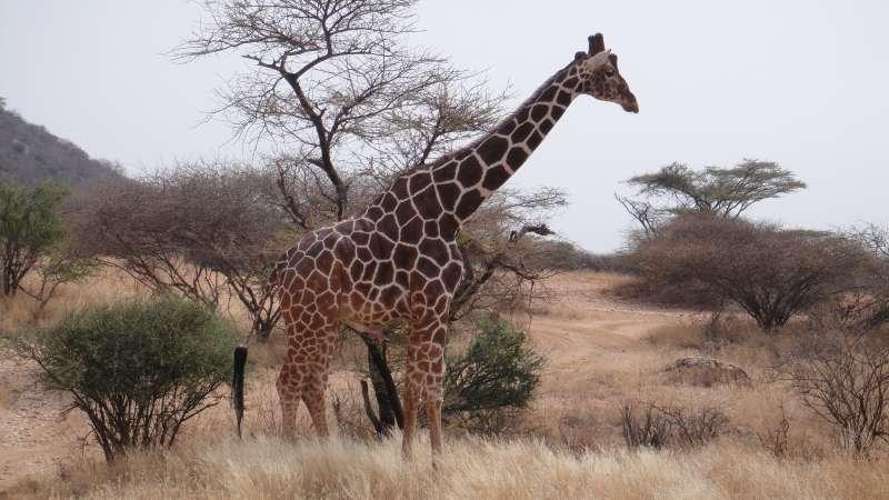 我們看到的是一公一母,公的一直在最靠近車子的地方,緩緩來回踱步著,銳利的雙眼不時環顧四週,似乎守護著躲樹叢後的母長頸鹿。(圖/謝幸吟提供)