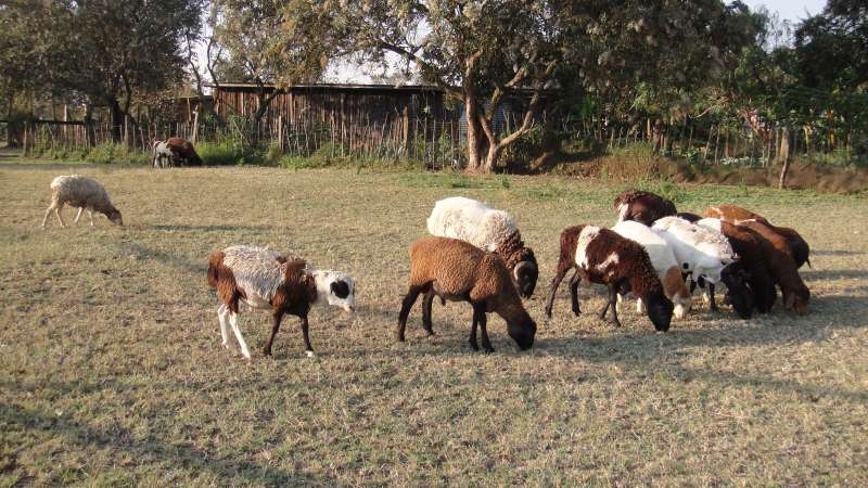 園內飼養的羊群,頸上輕脆的鈴鐺聲,串入陣陣微風,彷彿童話故事。(圖/謝幸吟提供)