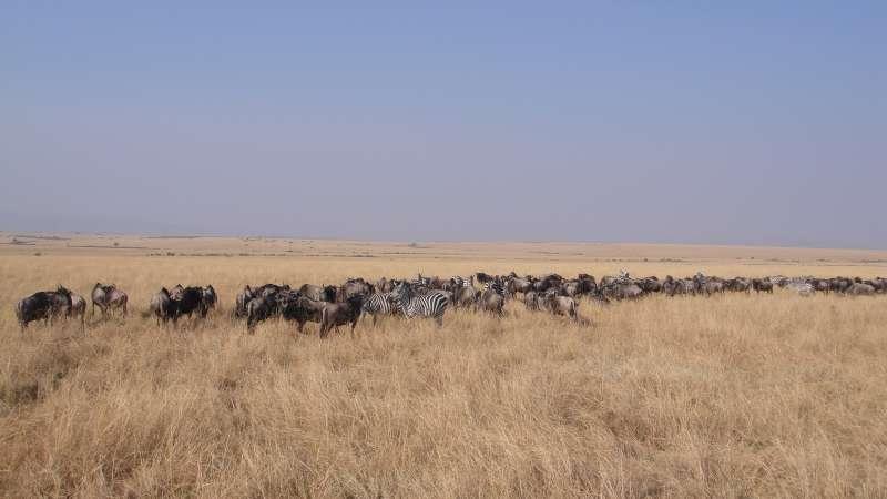 淡黃色的野草,餵飽全身黝黑的牛羚,馬賽馬拉一望無際的土地上,彷彿裝飾著一串串不時移動的小黑點。(圖/謝幸吟提供)