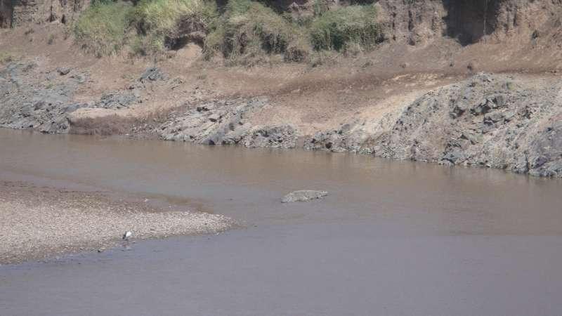 馬拉河沌濁的水,是鱷魚和河馬的家。牠們分別據著河流的一小段,相安無事。(圖/謝幸吟提供)