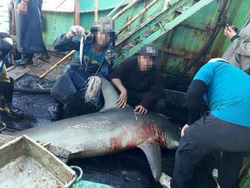 福甡11號印尼籍船員表示,曾在南大西洋捕獲鯊魚,把鰭割掉以後活生生地丟回海裡,做成「魚翅」賣掉,EJF表示,這已違反台灣相關法律。(環境正義基金會提供)