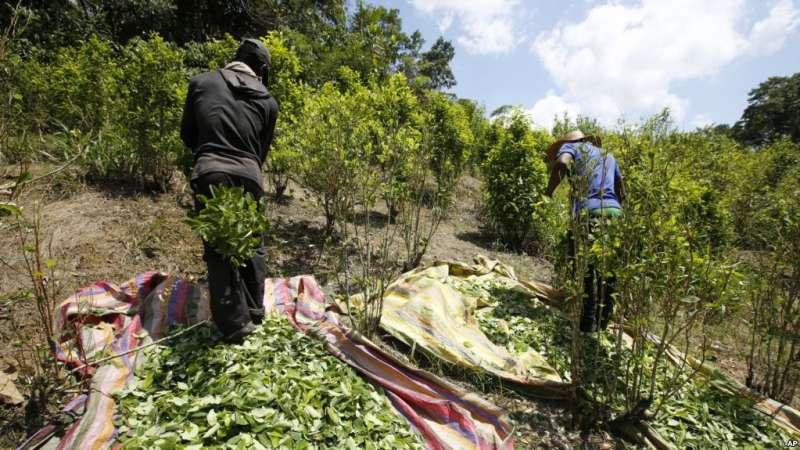 哥倫比亞南部的農民正在採收古柯葉,這是毒品古柯鹼的原料。(美聯社)
