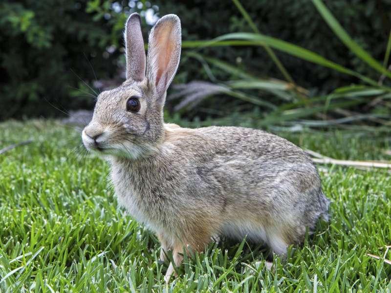 2019-09-28-兔子示意圖。(圖/Joel Tonyan@flickr)
