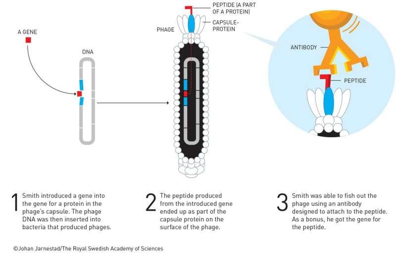 2018年諾貝爾化學獎得主史密斯的噬菌體展示技術(諾貝爾獎委員會)