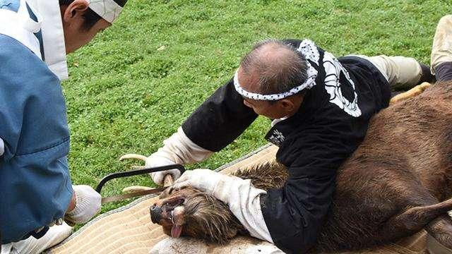 負責趕鹿的狩獵員把鹿壓制住,再由神職人員用鋸子切下鹿角(圖/潮日本)
