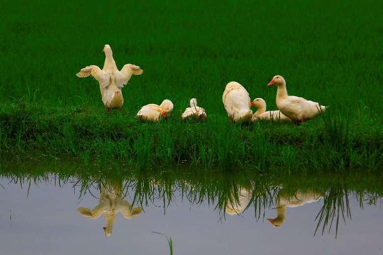 與稻田共同長大的鴨子,宜蘭蘇澳地區。(圖/想想論壇,攝影/李公元)