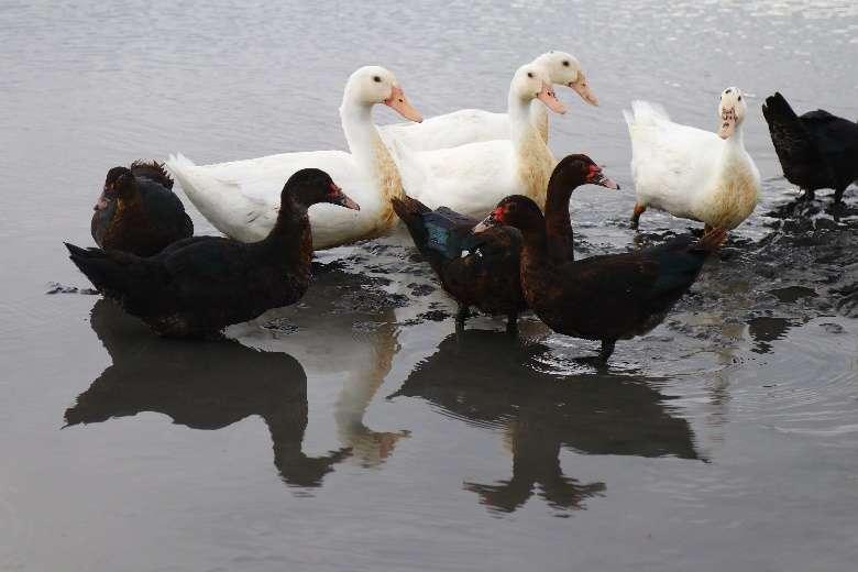 紅面鴨(前)與台灣混種土番鴨(白色)。(圖/想想論壇,攝影/李公元)