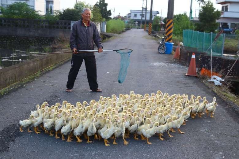 趕小鴨,必須多帶一支網子,防止小鴨掉進水溝可以撈起。(圖/想想論壇,攝影/李公元)