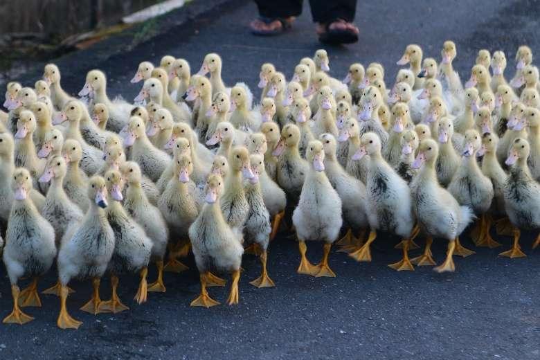 數百隻的鴨群走上街,甚是壯觀。(圖/想想論壇,攝影/李公元)