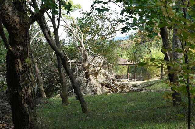 鵝掌楸被第21號颱風吹倒,樹根冒出地面(圖/潮日本)