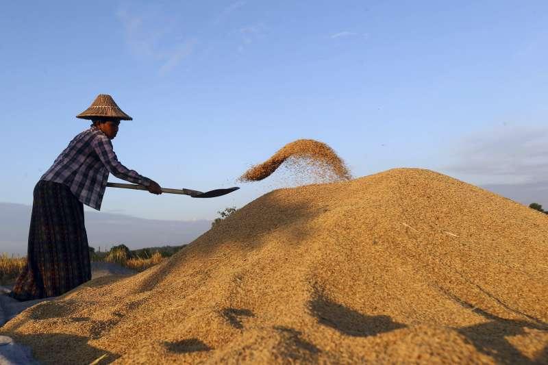 緬甸農民正在田中收割稻米,曬穀。(美聯社)