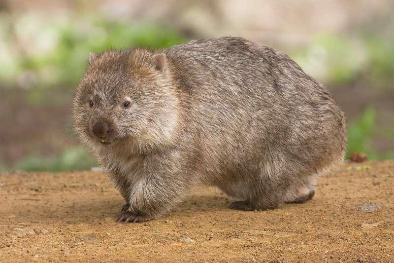 袋熊(Wombat)是澳洲特有的有袋類動物,長相可愛、深受歡迎。(JJ Harrison@Wikipedia/CC BY-SA 3.0)