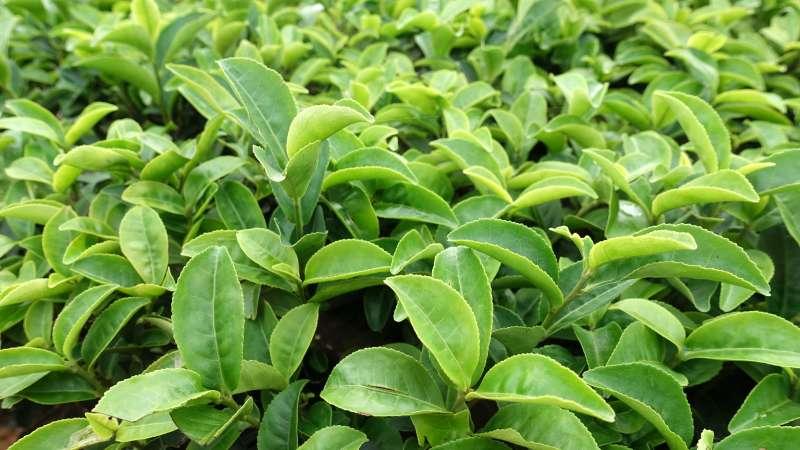 經小綠葉蟬咬噬後的青心大冇有獨特蜜香,是製作東方美人茶的最佳原料。(圖/林于仙攝)