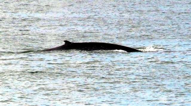 大型鯨魚現身瀨戶內海(圖/潮日本提供)