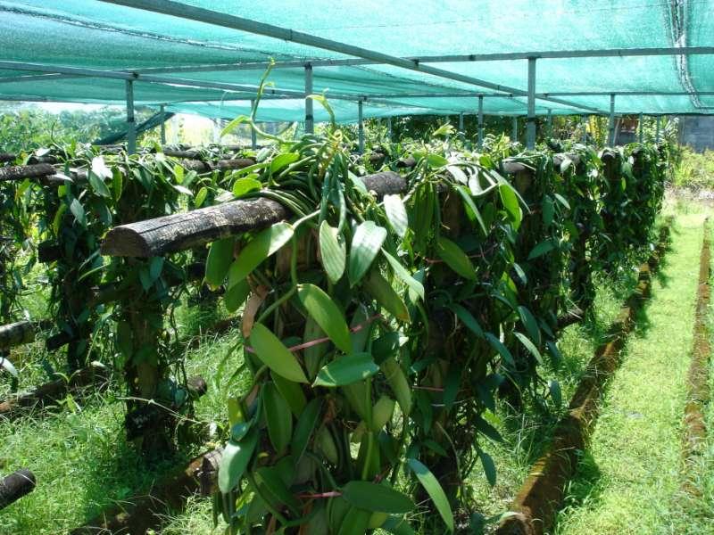 種植香草的過程非常艱辛。(圖/維基百科)