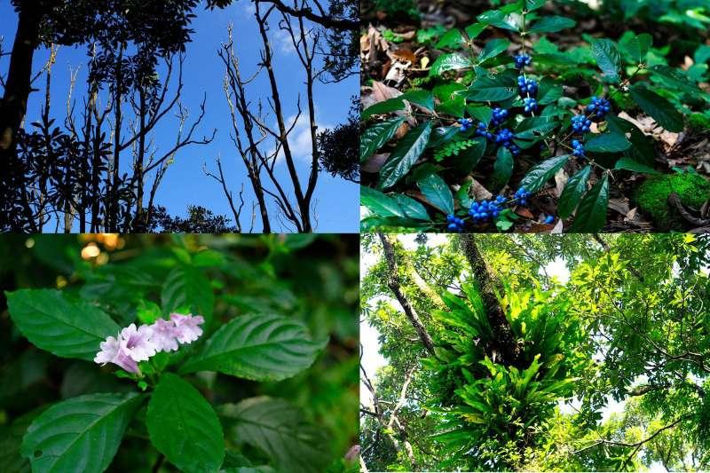 鐘萼木、雞屎木、大菁、鳥巢蕨…你認得出幾樣植物?(圖/李義章攝)