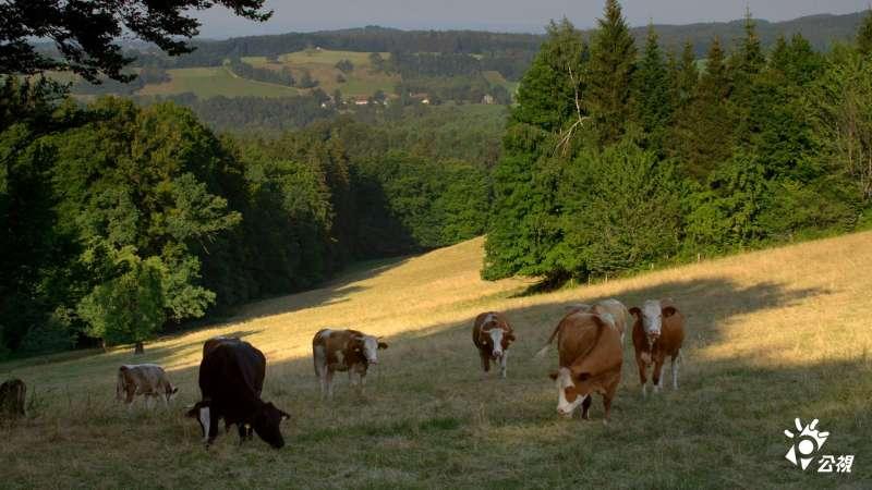山坡上的牛群。(圖/截自《農村的遠見》臉書粉絲團)