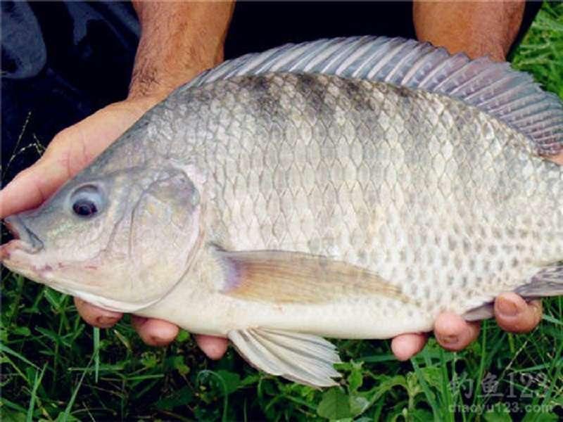 美國對中國出口的羅非魚(吳郭魚)加徵10%關稅。