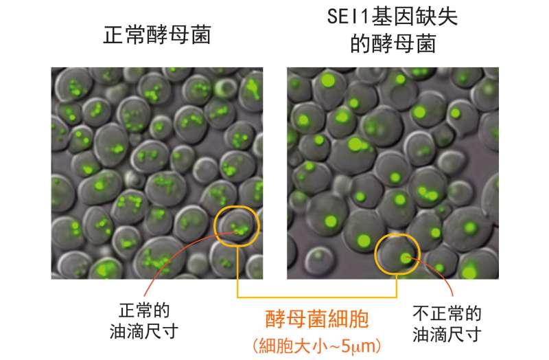 左圖為正常酵母菌細胞,右圖為酵母菌單一基因 SEI1 的突變株,右圖明顯可見:細胞中綠色部分標示的油滴尺寸變大、且數量變少。(圖/研之有物)