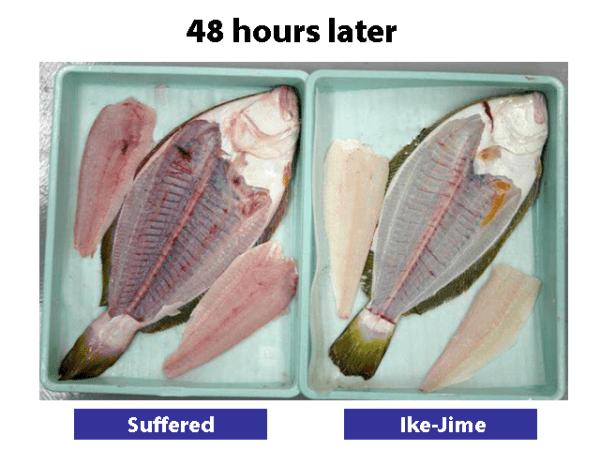 活締.日本(圖/Japanese Anglers Secrets)