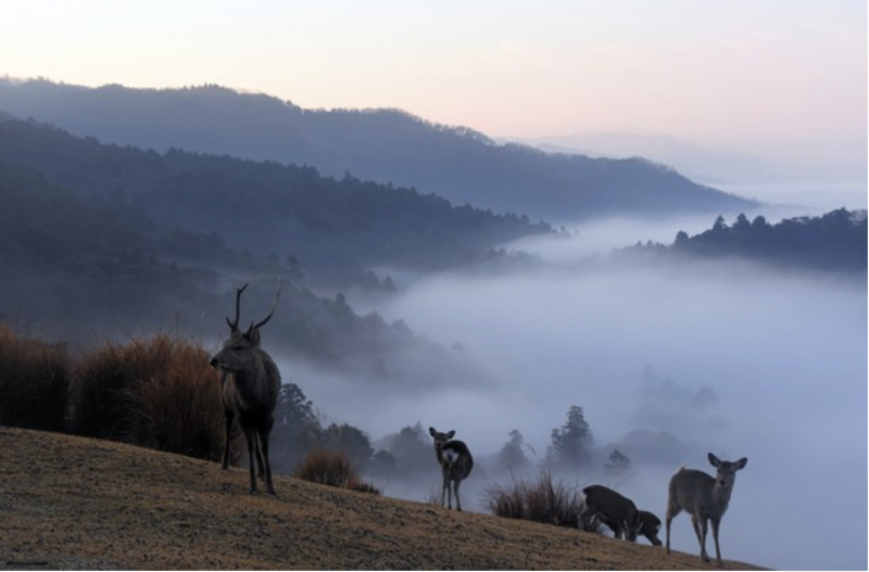 20181227-鹿群在雲海的景緻中漫步=攝於12月21日。(圖/潮日本提供)