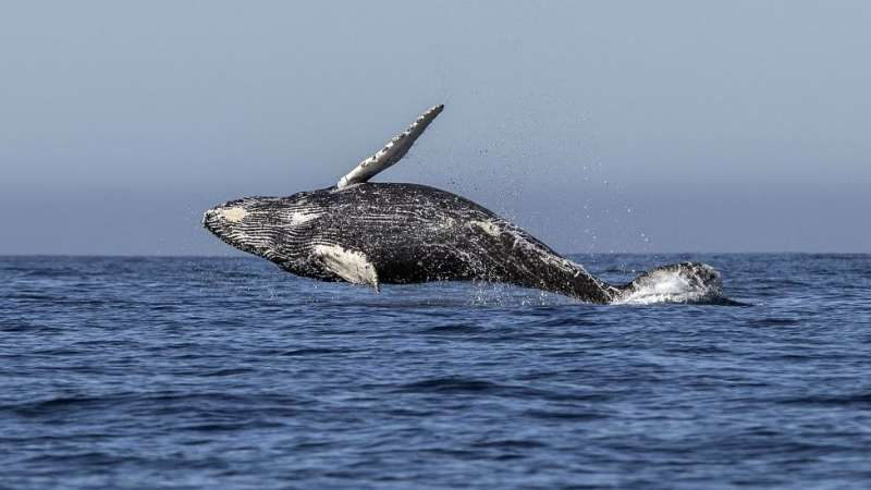 商業捕鯨使得一些鯨魚物種瀕臨滅絶。(圖/BBC中文網)