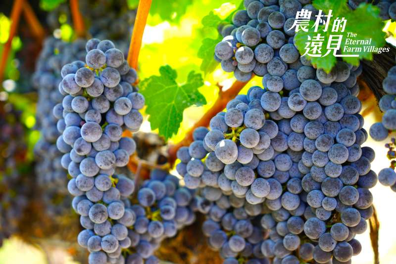 碩大、晶瑩、結實累累的葡萄,令人感念自然的恩惠。(圖/公視提供)