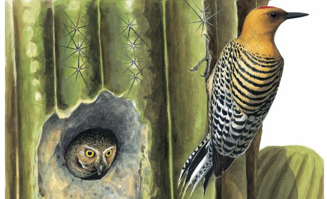 20190104-仙人掌啄木鳥與姬鴞(商周出版提供)