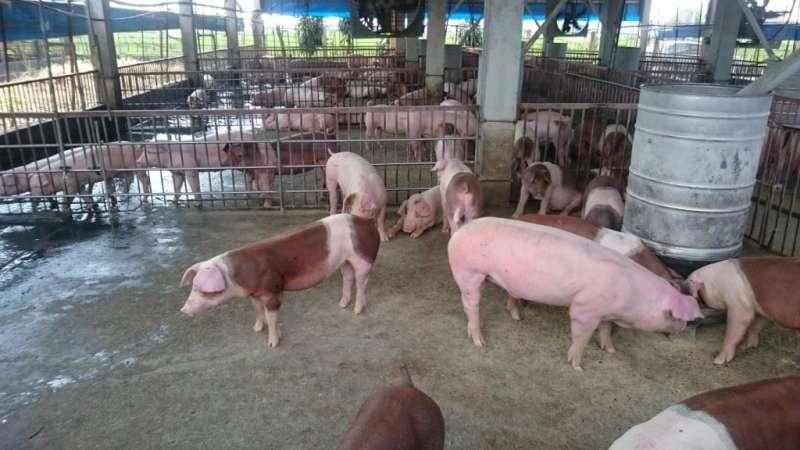 全台灣各地養豬場全力防範非洲豬瘟(高雄市政府)