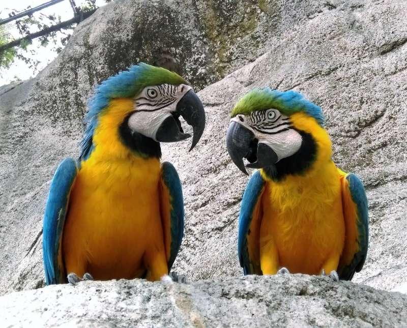 壽山動物園將於主題活動日介紹藍黃金剛鸚鵡的生態習性,希望能減少寵物市場對金剛鸚鵡的需求,以達到生態保育永續的目標。(圖/徐炳文攝)