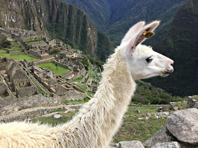 駱馬是印加古文明的經濟基礎之一,是當時人們食物、羊毛和交通運送的資源。(圖片取自Pixabay)