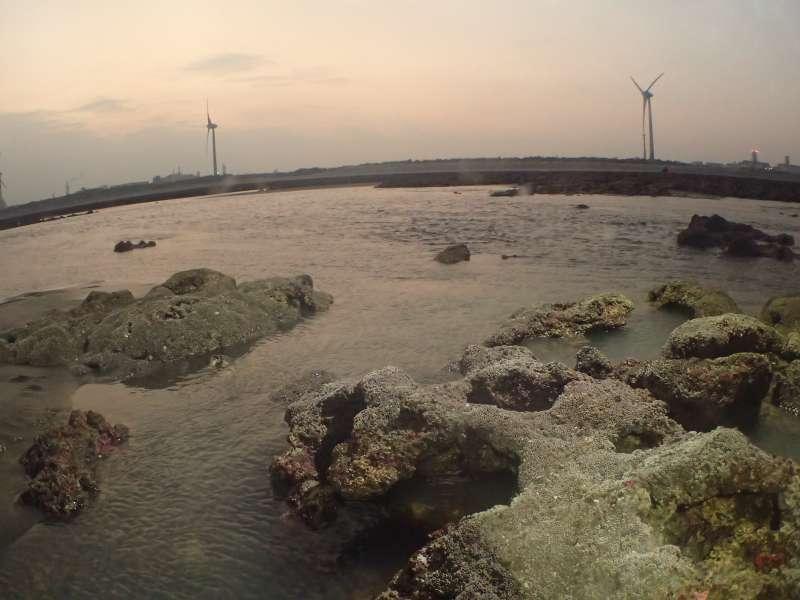 20190130-中研院學者自主前往大潭藻礁進行生態調查,不但在棧橋區發現大量一級保育類柴山多杯孔珊瑚群體,更在G2區發現一「多杯孔珊瑚島」,其中最大群體直徑超過1公尺,打臉中油在環評中的說法。圖為G2區的多杯孔珊瑚島。(陳昭倫提供)