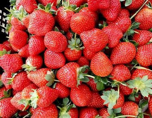 主推有機草莓的秘密基地,舉辦「小冬日和-戀戀草莓季」活動大受好評。(圖/高雄市政府提供)