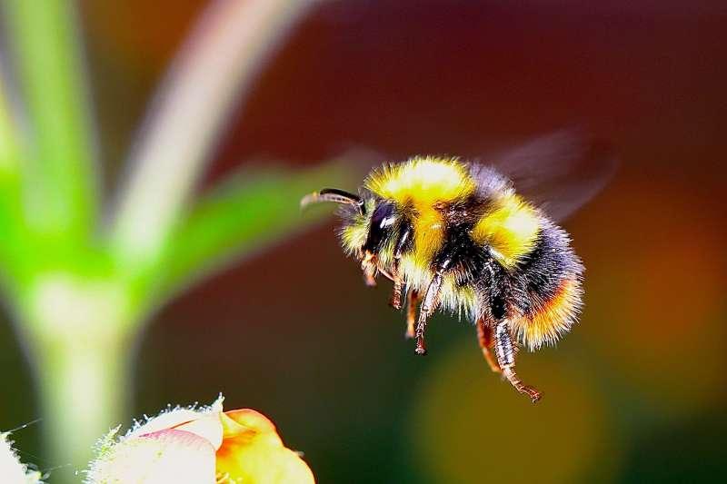熊蜂(取自Pixabay)