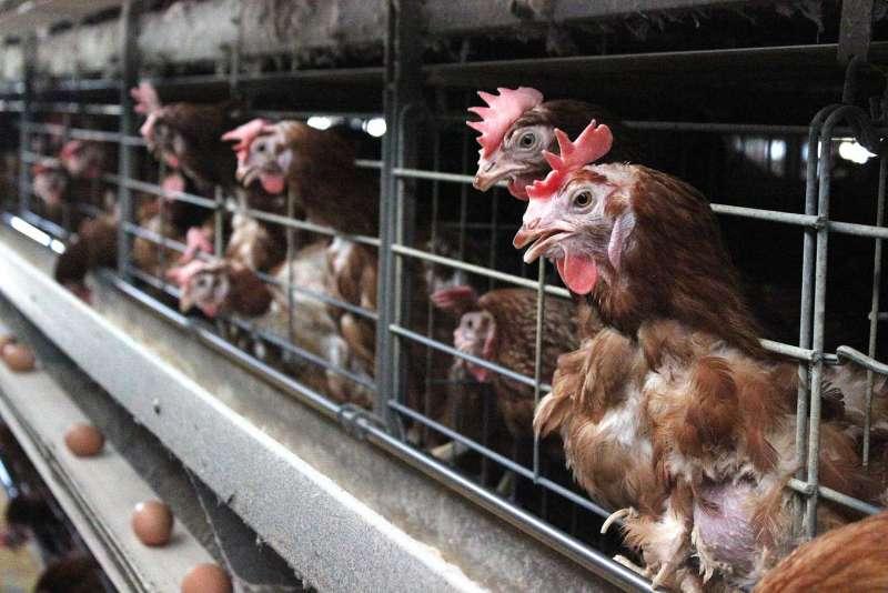 蛋種雞場疫苗出問題、影響400萬隻蛋雞,雛雞、中雞補不齊,只能靠場內「老母雞」苦撐下蛋。(攝影/林珮君)