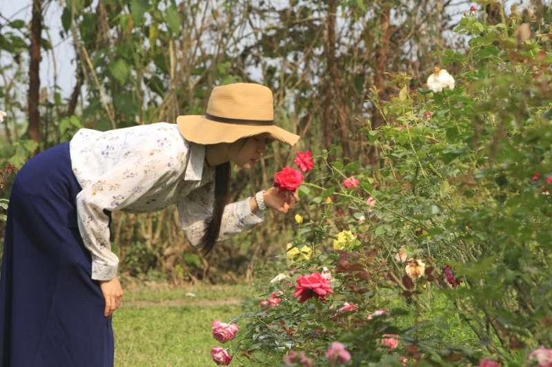 園區內搖曳生姿的大紅玫瑰,除了迷人香氣與美味料理,還能體驗一下辣手摧花……親手摘花、送心上人玫瑰的浪漫。(圖/李義章攝)