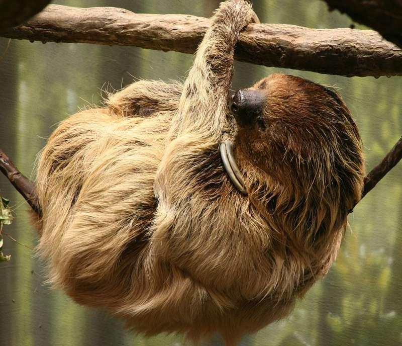 二趾樹懶(Wikipedia/Public Domain)
