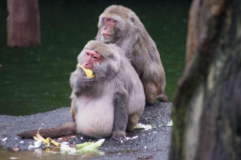 20190303-台北市立動物園中的台灣獼猴。(甘岱民攝)
