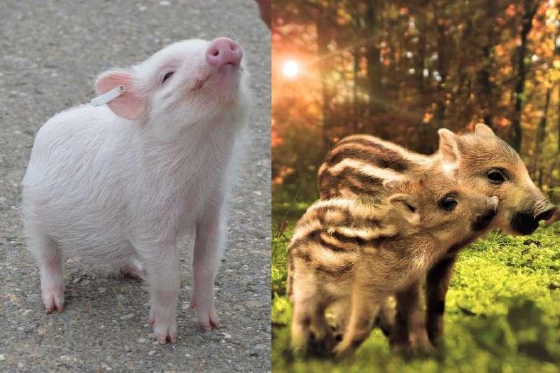 在日本,家豬是「豚」,野豬才是「猪」(圖/pixabay)